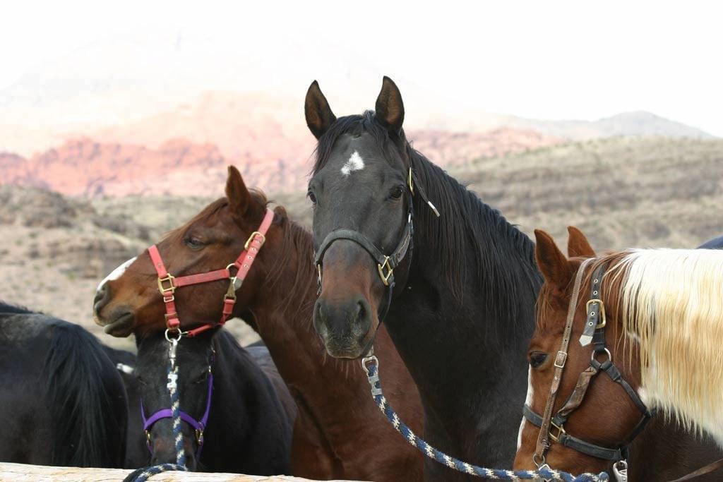 vegas horses